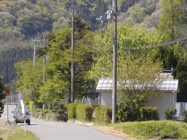 道路の桜の木