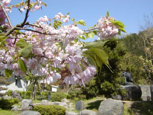遅咲きの八重桜1